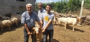 Kırıkhan ve Hassa'da damızlık koç dağıtımı yapıldı