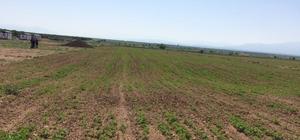 Malatya'da ilk defa kinoa bitkisi ekildi