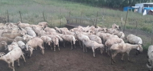 Ayvacık'tan çalınan koyunlar Balıkesir'de bulundu