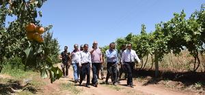 Nusaybin'de kayısı hasadı başladı