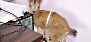 """Yaralı keçi yavrusu """"Nazlıcan"""" biberon ile besleniyor"""