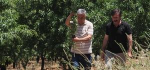 Badem bahçelerinin verimliliği incelendi