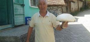 1 kilo 500 gramlık mantar