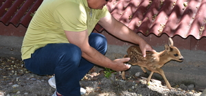 Tedavi edilen yavru karaca doğaya salındı