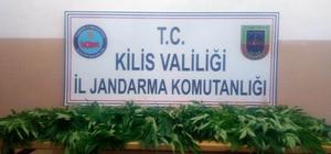 Polateli'nde 80 kök hint keneviri yakalandı