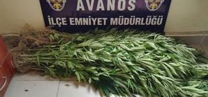 Avanos'ta 71 kök Hint keneviri ele geçirildi