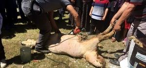 Develi'de koyun kırım şenliği düzenlendi