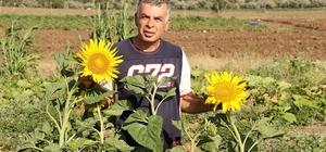 Datça'da ilk yerel tohum hasadı yapıldı