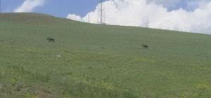 Ağrı'da domuzlar yerleşim alanlarına indi