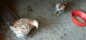 Posof'ta sıcak havaya dayanamayan tavuklar telef oluyor