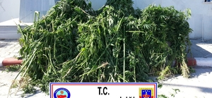 Sakarya'da bin 400 kök kenevir ele geçirildi
