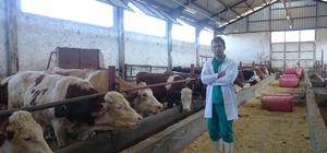 Veteriner hekim Saydan'ın milli hayvancılıkla ilgili araştırması