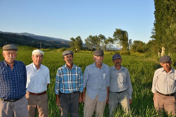 (Özel Haber) Tosya'da çeltik üreticileri perişan durumda