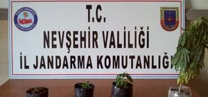 Nevşehir'de 104 kök Hint keneviri ele geçirildi