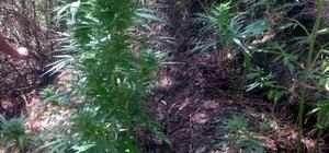 Jandarmadan orman ve hazine arazilerine uyuşturucu baskını