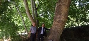 200 yıllık ağaç anıt olacak