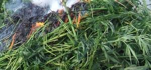 Ayçiçeği tarlasındaki 140 bin kök Hint keneviri imha edildi