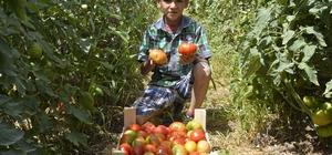 Büyükşehir Belediyesi'nin Çamlıyayla'da dağıttığı domates fideleri ilk ürünü verdi