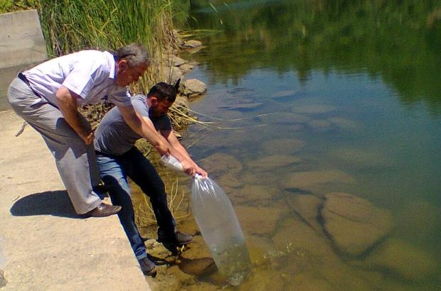 Aydın'da 110 bin sazan yavrusu tatlı sularla buluştu