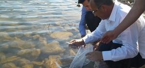 Denizli'de 122 bin sazan balık su ile buluşturuldu