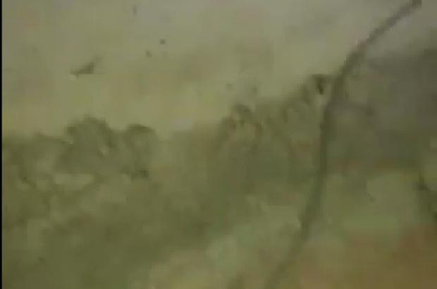 Milas'ta 'Sarıkız böceği' paniği