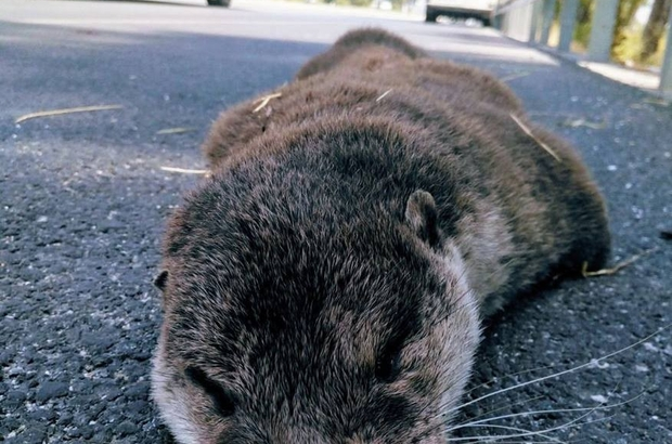 Söke-Milas kara yolunda su samuru ölü olarak bulundu