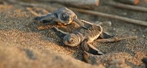 Başkan Tarhan, halkı yavru deniz kaplumbağalara karşı uyardı