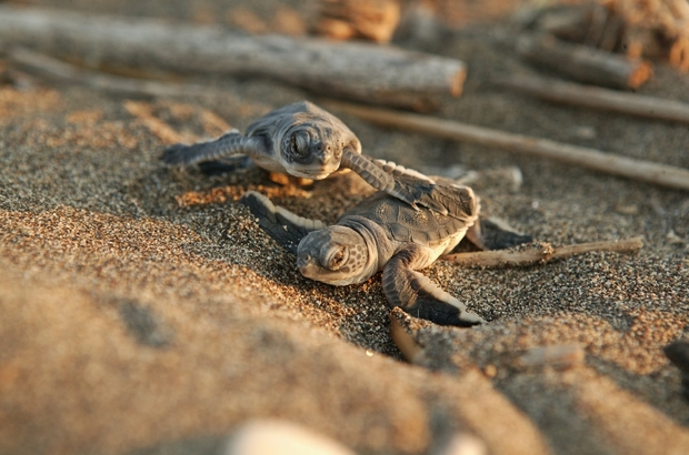 Kisteknősök futnak a tengerhez - Forrás: haberturk