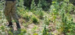 Ormanlık alanda 120 kök dişi Hint keneviri ele geçirildi