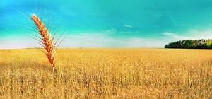 Buğdayda kuraklık ödemeleri başladı