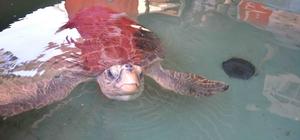 Deniz kaplumbağalarını elle beslemeyin