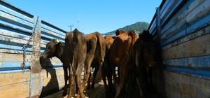 Posof'ta genç çiftçilere düve