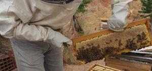 Nallıhan'da arı üreticileri 2017 yılı bal hasadına başladı