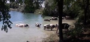 Sıcaktan bunalan inekler kendilerini göletin serin sularına bıraktı