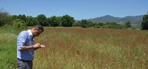 Simav'da 'kara buğday' hasadı başladı
