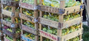 Mut'ta incir altın yılını yaşıyor