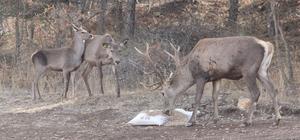 Çorum fauna tanıtım alanında hayvan popülasyonu artıyor