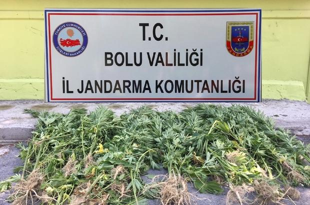 Bolu'da 72 kök kenevir ele geçirildi