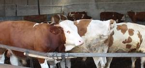Hayvan satıcıları düvenin karaborsaya düşmesinden korkuyor