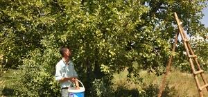Muş'ta elma hasadı başladı