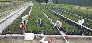 Hisarcık Fidanlık Şefliğinde 1,5 milyon fidan üretimi