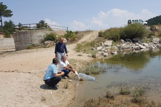 Emet'te 3 gölete 8 bin yavru aynalı sazan balığı bırakıldı