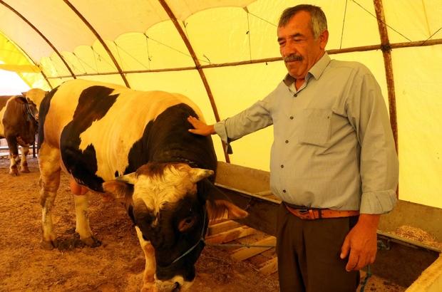 Yozgat'ta araba fiyatına kurbanlık boğa alıcısını bekliyor