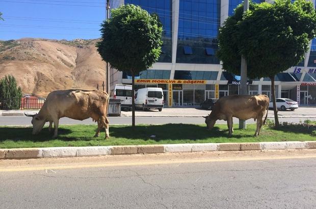 Orta refüjler ineklere otlak yerleri oldu