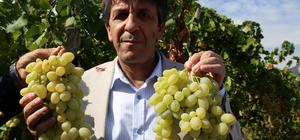 Mersin'de güzlük üzüm hasadına başlandı