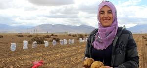 Kadın çiftçilerden yerli patates hasadı