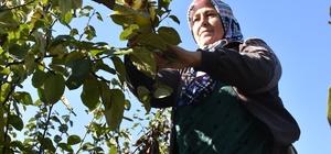 Osmaneli'de ayva hasadı başladı