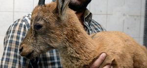 Hasta yaban keçisine şefkat eli