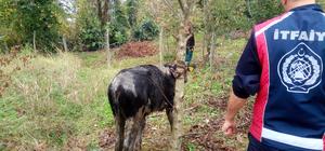Foseptik çukura düşen inek kurtarıldı