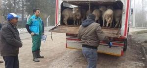 Çavdarhisar'da genç çiftçilere küçükbaş hayvan dağıtıldı